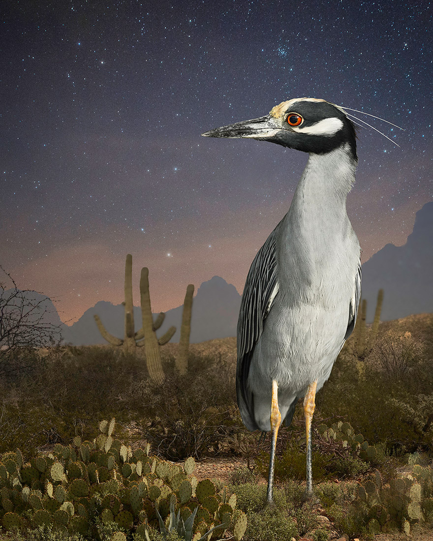 Night Heron In Tucson