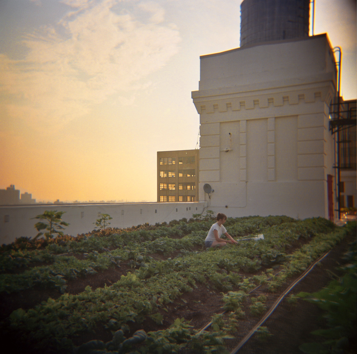 Brooklyn Grange Rooftop Farm, Brooklyn Navy Yard, Clinton Hill, Brooklyn, 2012.