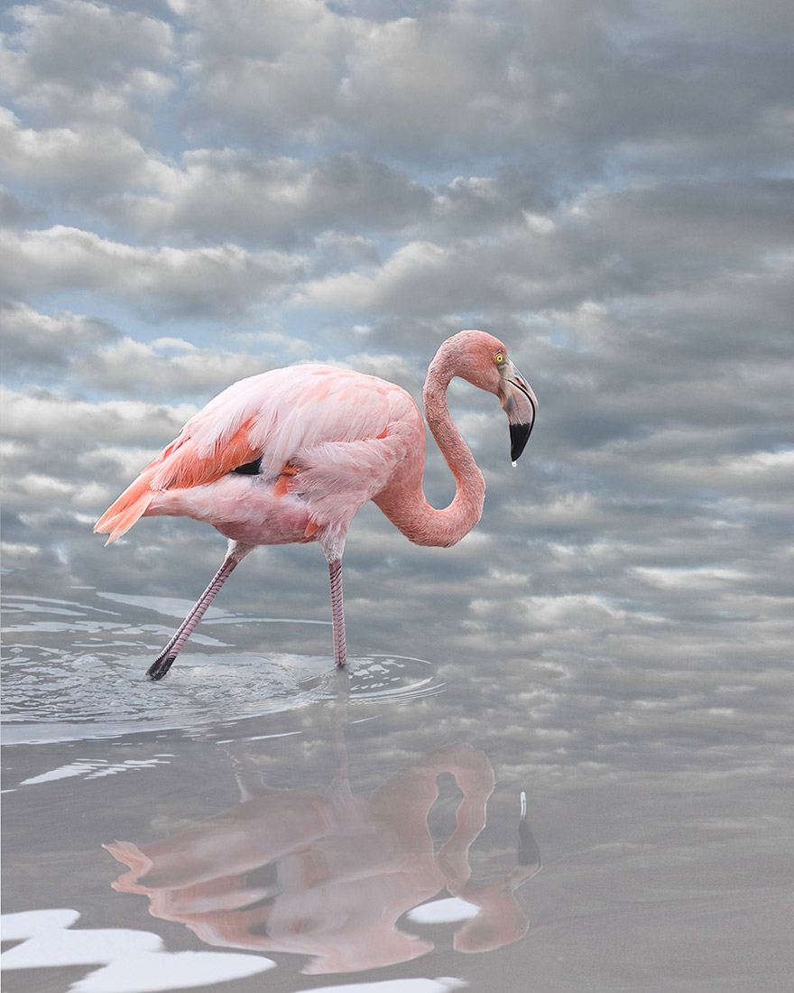 greater-flamingo-I