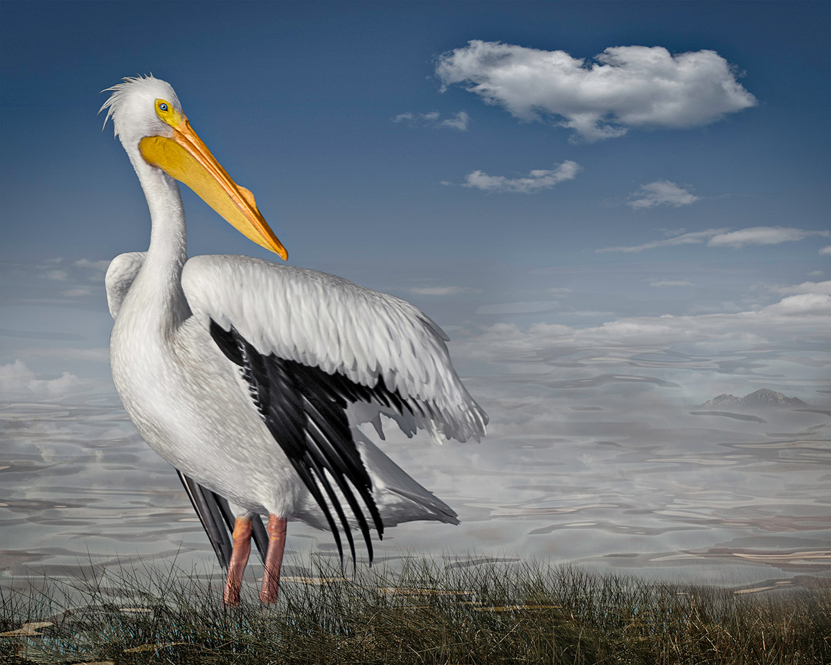 White Pelican By The Sea